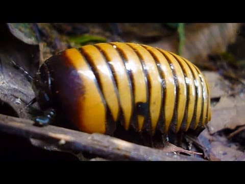 Giant pill millipede, Mulu National Park, Malaysia ...