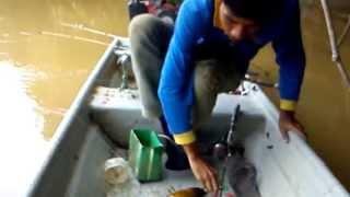 Mancing Udang Galah Terbesar Di Sungai Kuala Gris