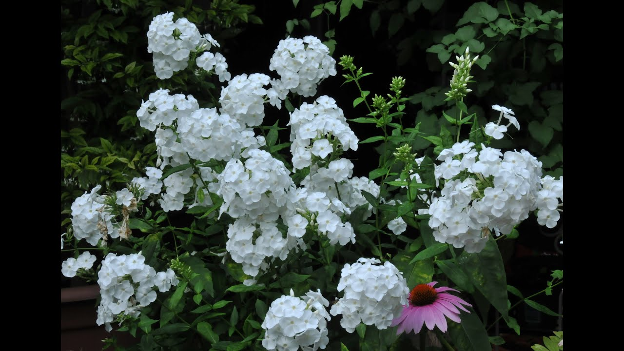 varieties select phlox grows what resistant grow garden there tall bicolor mildew