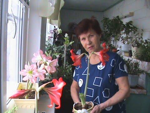 Как и когда САЖАТЬ ЦВЕТЫ АМАРИЛЛИС, посадка луковиц / plant flowers amaryllis