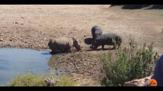 Бегемот убивает носорога