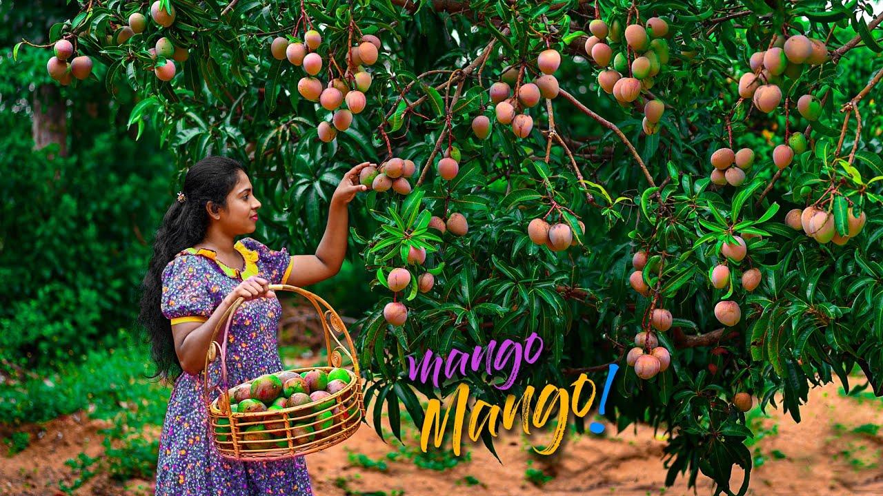 Tree full of violet mangoes, made me wants to make so many yummy Mango Treats! | Traditional Me