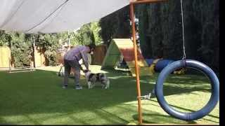 Magic Momo Learns Contact Stay In Dog Agility