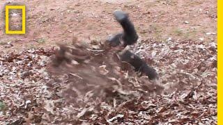 ゴリラの枯れ葉トルネード |ナショジオ