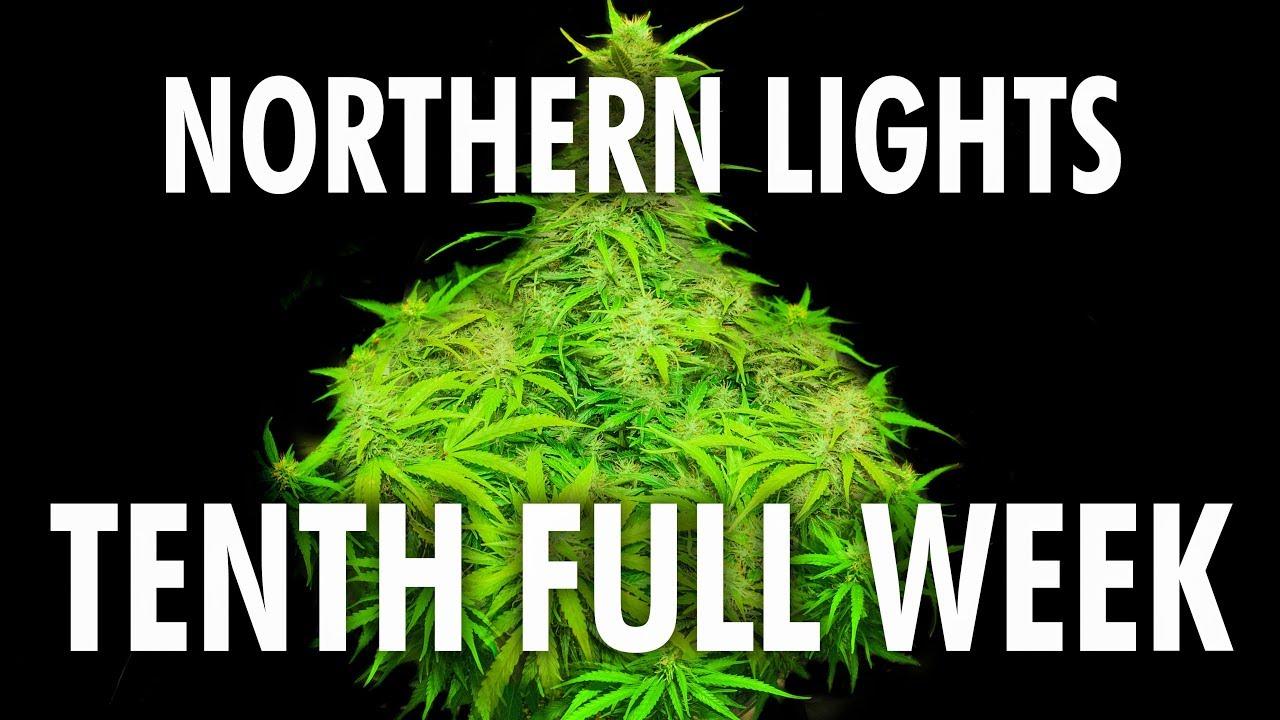 Northern Lights Autoflower Week 10 - Legal Cannabis Grow