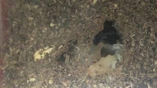 サナギになったばかりの幼虫です。朝は幼虫だったのに、昼過ぎに見ると...