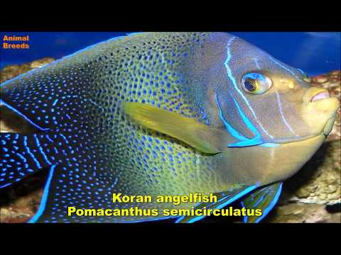 All Large Saltwater Angelfish Species
