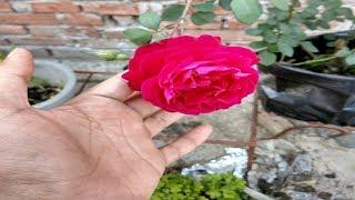 DESI Rose blooming. Care tips.