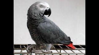 Рассказ попугая