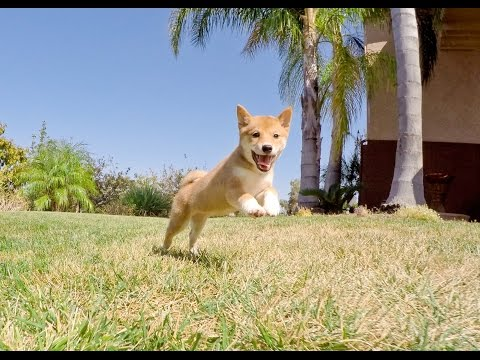 Paz the Beautiful ACA Shiba Inu Female Puppy For Adoption in San Diego, CA.