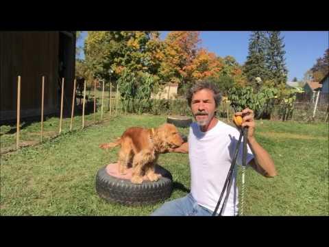 Dog training,  Heel using Heel stick and E-Collar Technologies Mini Educator
