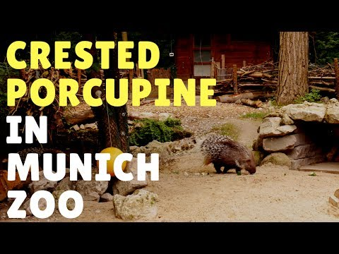 Crested porcupine in Munich Zoo Hellabrunn 2017 - Travel Germany [4K]