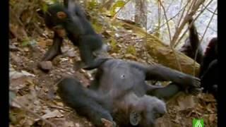 Documental. Chimpances Homenaje a las madres del mundo animal 8/17