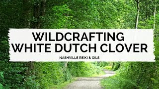 White Dutch Clover (Trifolium repens) ~ LuminEarth's How to Identify Wild Edible & Medicinal Plants