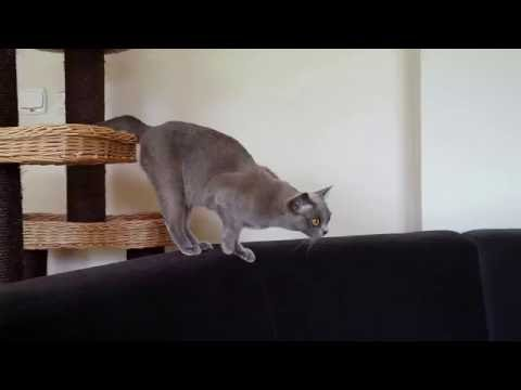 Slow burmese cat