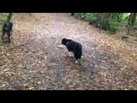 Valgrays Icey dog