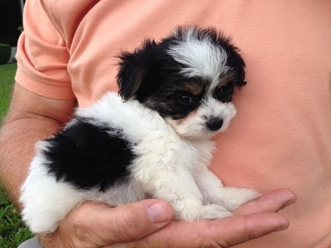 Biewer Yorkier For Sale In Florida Michelines Pups Youtube