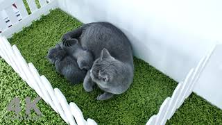 British Shorthair kittens 5 Weeks Old, playing on a green carpet.