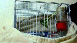 Goldfinch mule1 in UAE 00971506822389 mhannad1981@hotmail.com .MOV
