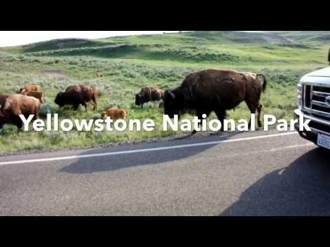 Dangerous buffalo at Yellowstone National Park