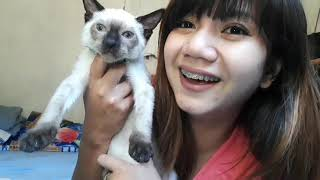 Meet my NEW AMPON IN THE HOUSE ' OUR SIAMESE CAT'