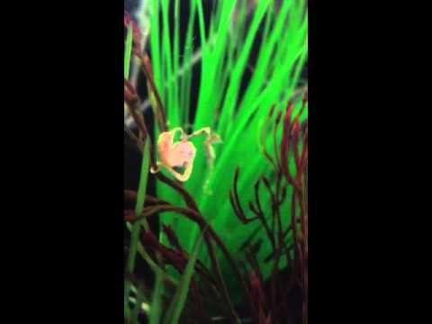 Male dwarf seahorse giving birth