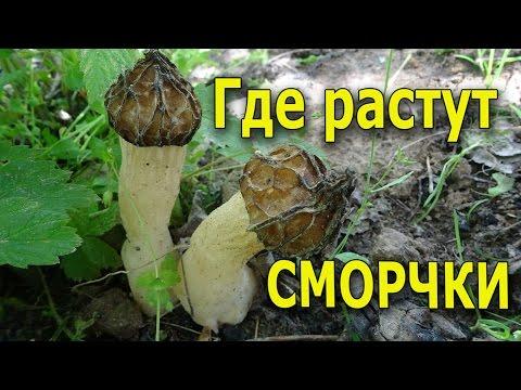 Где растут грибы сморчки