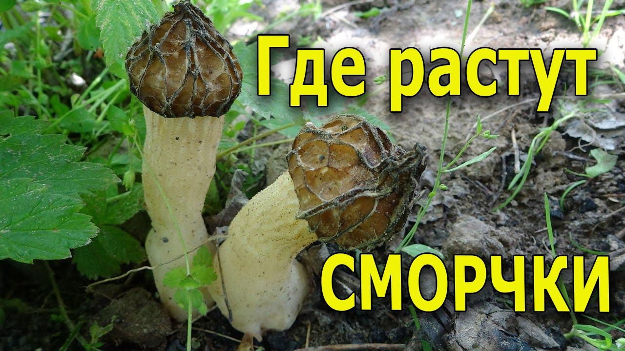 грибы сморчки съедобные фото