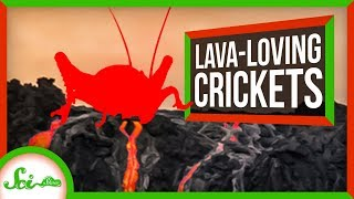 The Hardcore Crickets That Only Live on Bare Lava