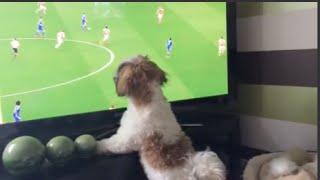 Shih Tzu Louis Is Watching Football/soccer On Tv | Chelsea Fc