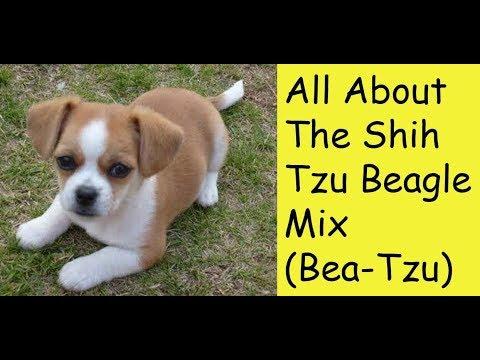 All About The Shih Tzu Beagle Mix (Bea-Tzu)