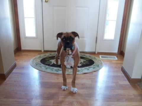 lucy the boxer puppy 6 months old feb 8th youtube