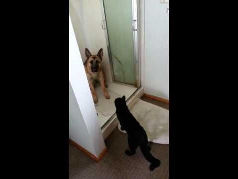 German Shepherd afraid of and cornered by a cat being a bully.