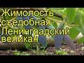 Жимолость съедобная Ленинградский великан. Краткий обзор, описание характеристик, где купить саженцы