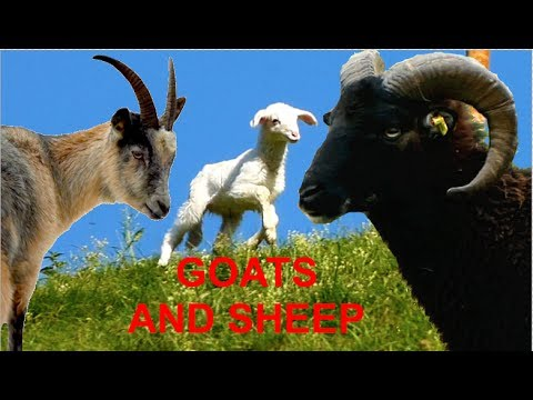 Top30 Most beautiful goats and sheep - rare breeds of lifestock - Soay, Jacob, Peacock, Belted Pygmy