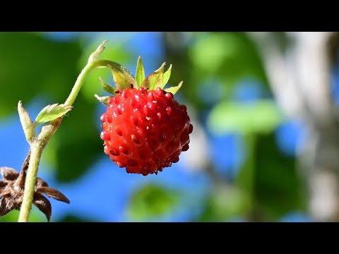 Wald Erdbeere
