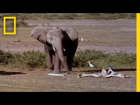 Elephants Mourning | National Geographic