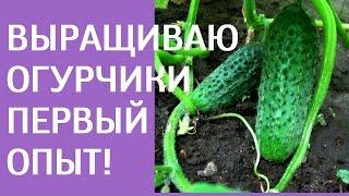 Выращивание огурцов первый опыт Ⓜ MNOGOMAMA(http://irinazhukova.ru/vyrashhivaem-ogurcy/ - как я выращиваю огурцы впервые. Мой первый опыт выращивания огурцов в открытом..., 2014-07-24T12:28:05.000Z)