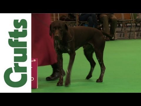 Crufts 2012 – German Shorthaired Pointer Best of Breed