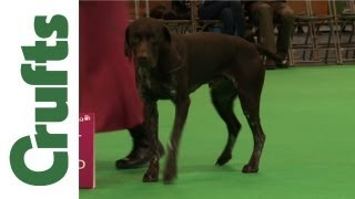 Crufts 2012 - German Shorthaired Pointer Best Of Breed