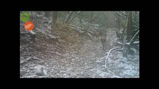 Giovani cervi nel Parco nazionale Foreste Casentinesi