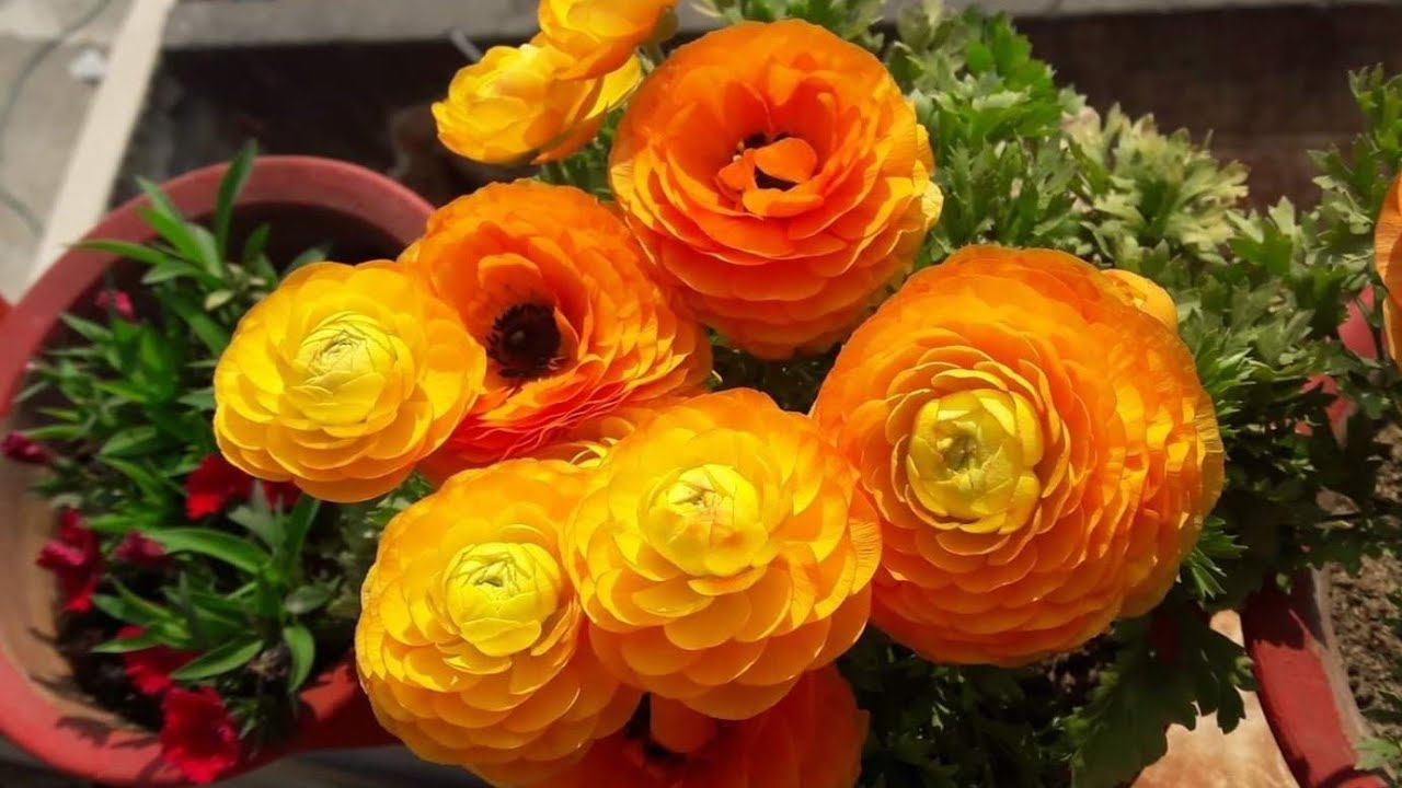 How To Save Seeds Of Ranunculus Plant For Next Season Easy Way