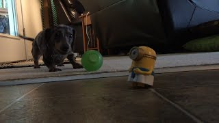 Minion Vs Dachshund: Talking Happy Meal Toy Argues With Dog