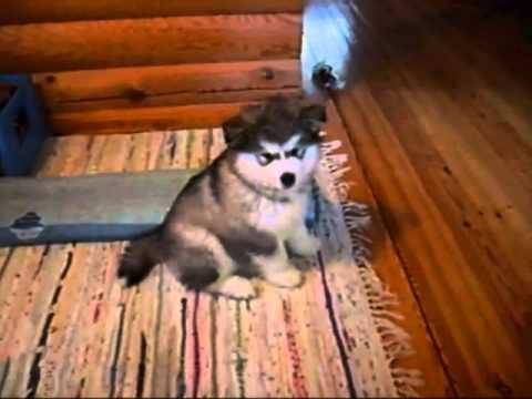 Смешные собаки (70 фото) - Приколы
