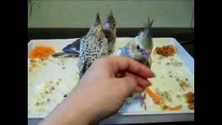Попугаи нимфы - кореллы Кузя и Фиби (разведение) 17 Птенец кореллы Breeding Corell.