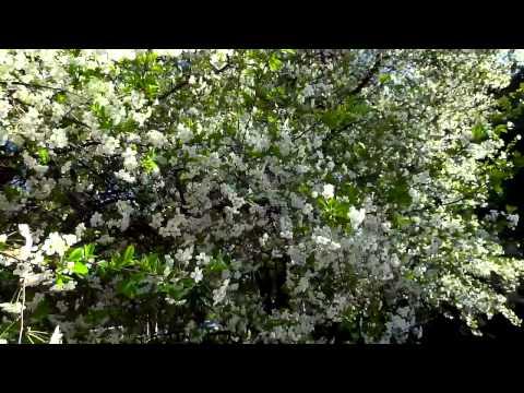 Цветут вишни в Павлограде...mp4