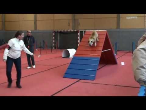 Achille - Bulldog anglais - Agility 2011