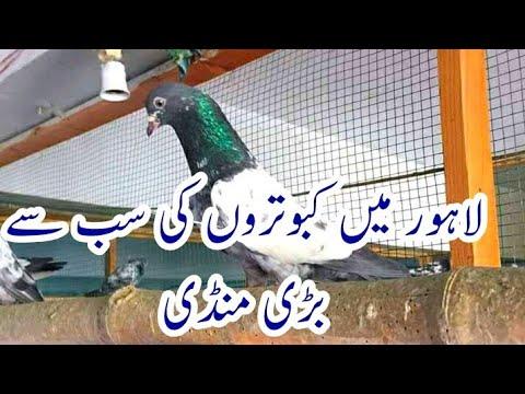 Lahore ki Big Mandi Pigeons 03454686285
