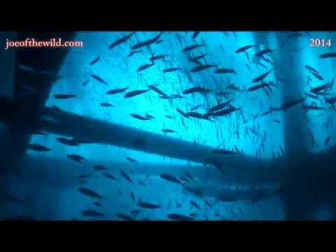 Diving SoCal Oil Rigs Asante Charters