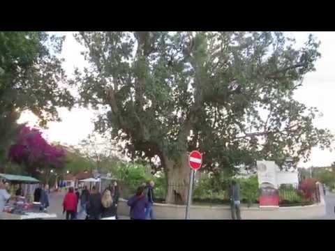 Jericho - Zacchaeus climbed up into a sycamore tree. Tour Guide: Zahi Shaked. March 12, 2014